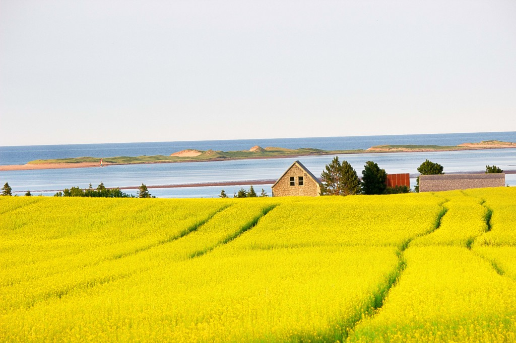 Canola Fields Close to Home Images