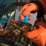 Measuring PEI Lobster