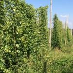 Hops growing at Barnone Brewing